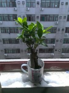 榕树盆栽|若爱,请尽心呵护